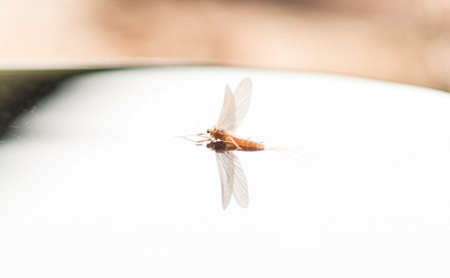 Reflections of a PMD mayfly on the water